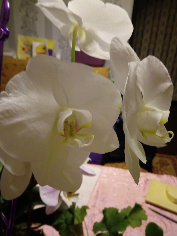 Орхидеи - Страница 25 Img_2034