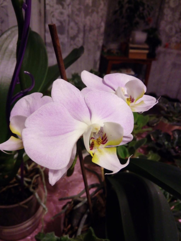 Орхидеи - Страница 25 Img_2035