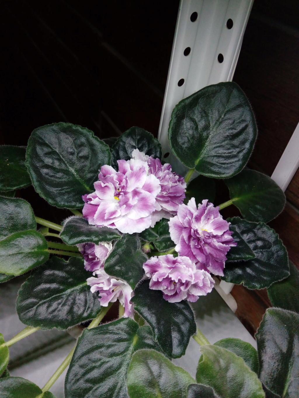 Моё цветочное богатство - Страница 36 Img_2046