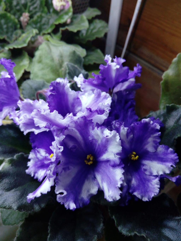 Моё цветочное богатство - Страница 36 Img_2051