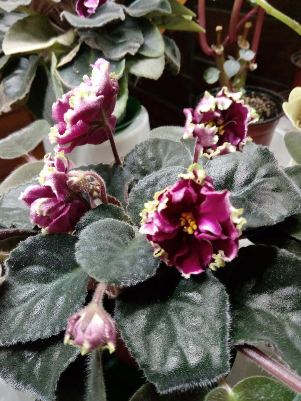 Моё цветочное богатство - Страница 36 Img_2055