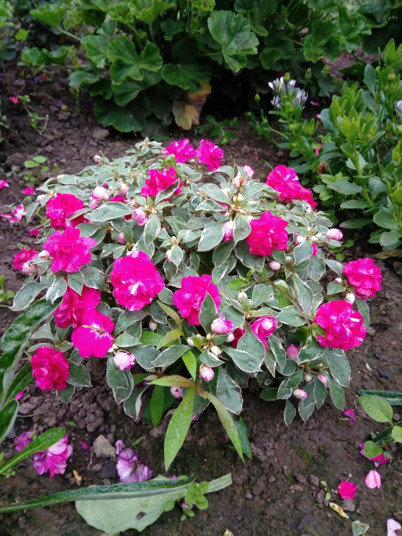Моё цветочное богатство - Страница 37 Img_2097