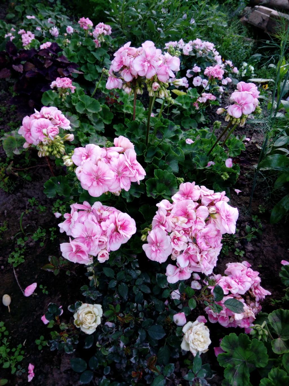 Моё цветочное богатство - Страница 37 Img_2098