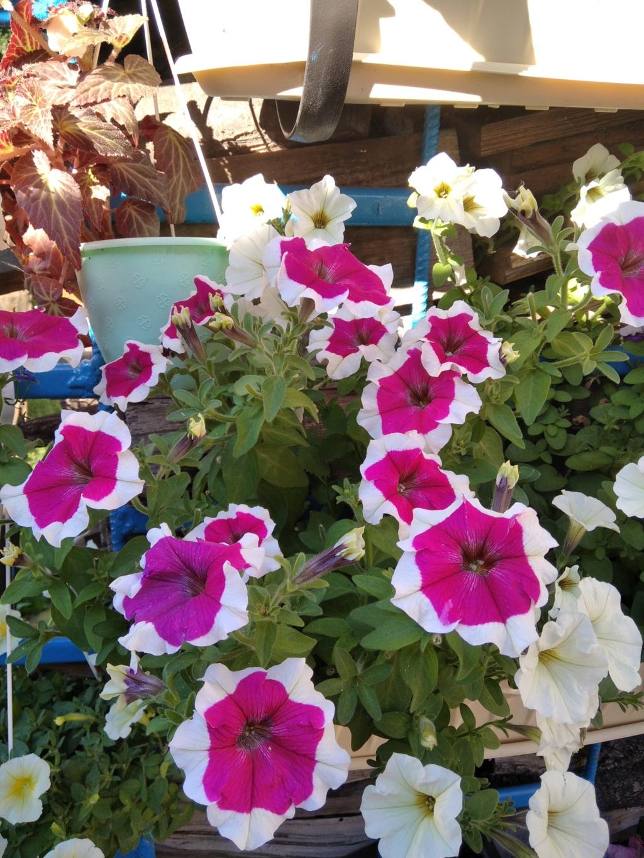 Моё цветочное богатство - Страница 38 Img_2111