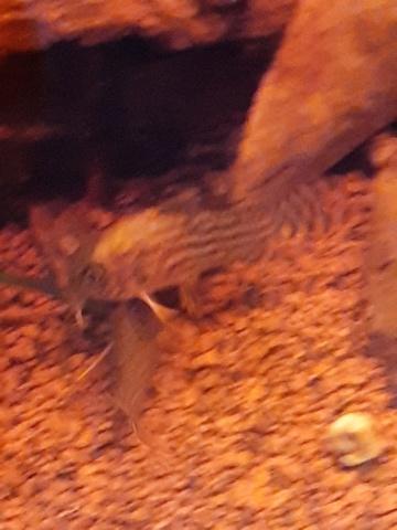 [HELP] Corydoras sterbai blessé ! 20200411