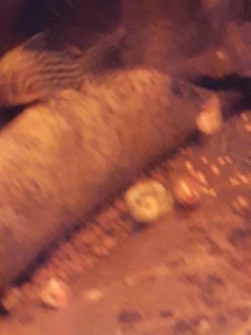 [HELP] Corydoras sterbai blessé ! 20200412