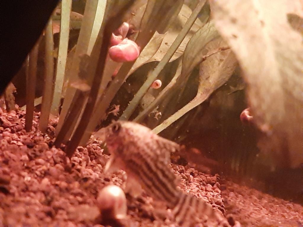 [HELP] Corydoras sterbai blessé ! 20200414
