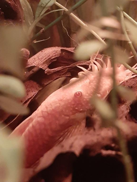 160L Biotope amazonien - Nouvelle espèce !! 20200415