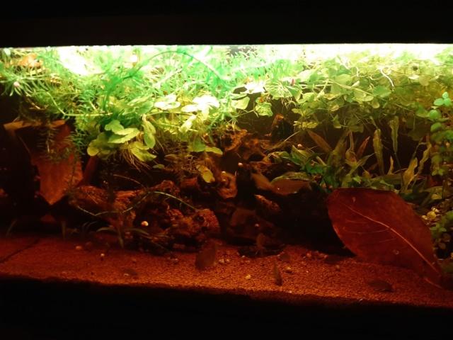 160L Biotope amazonien - Nouvelle espèce !! - Page 3 20200433