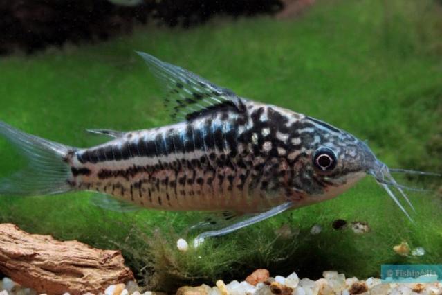 Quel corydoras est le mieux adapté pour mon aquarium ? Corydo11