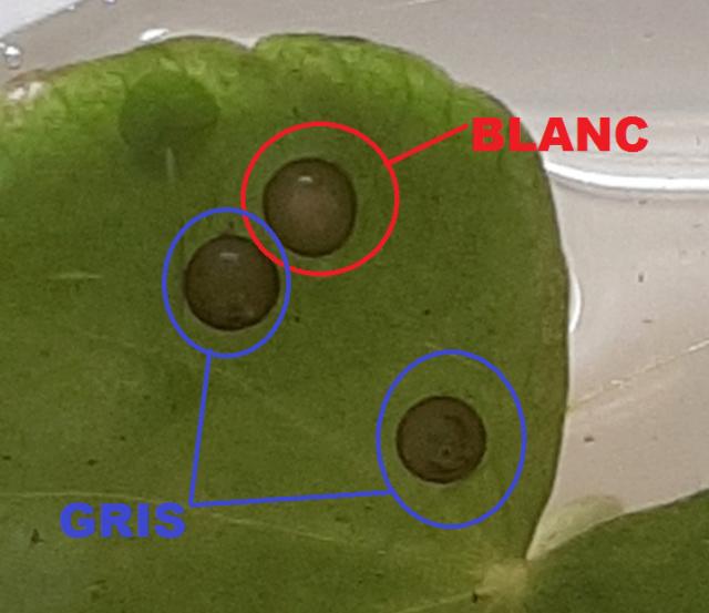 [Des alevins sont nés !!] Œufs de Corydoras Oeuf10