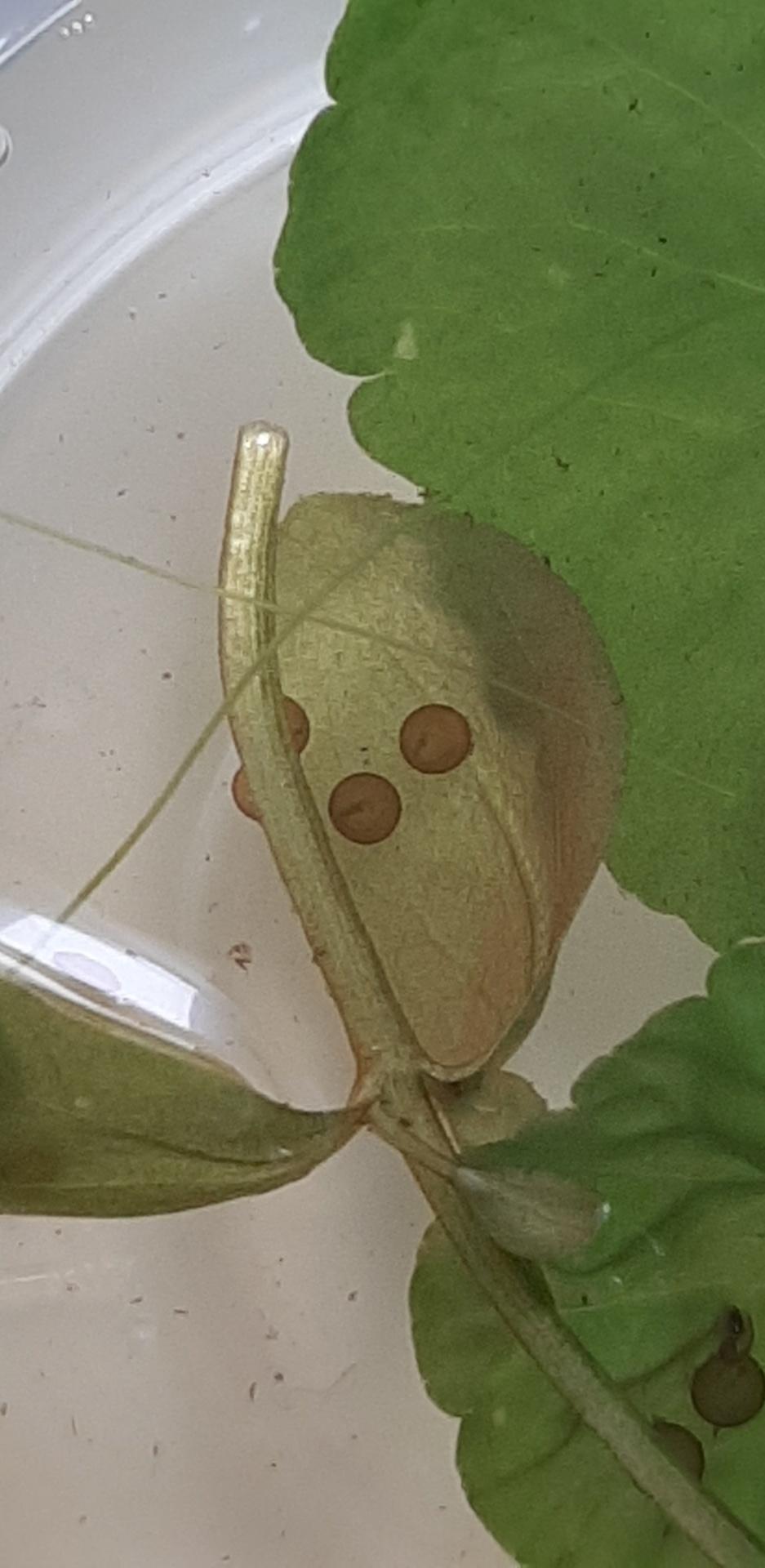 [Des alevins sont nés !!] Œufs de Corydoras Snapch69
