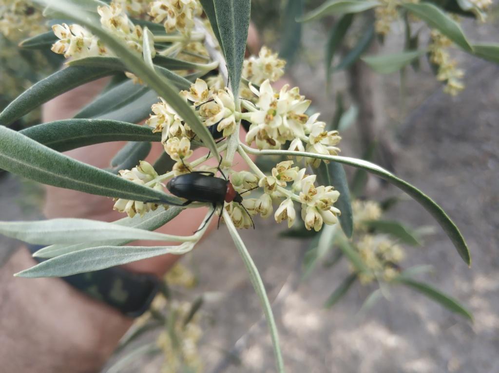 Escarabajo toro de sol en olivar (Heliotaurus ruficollis) Img_2010