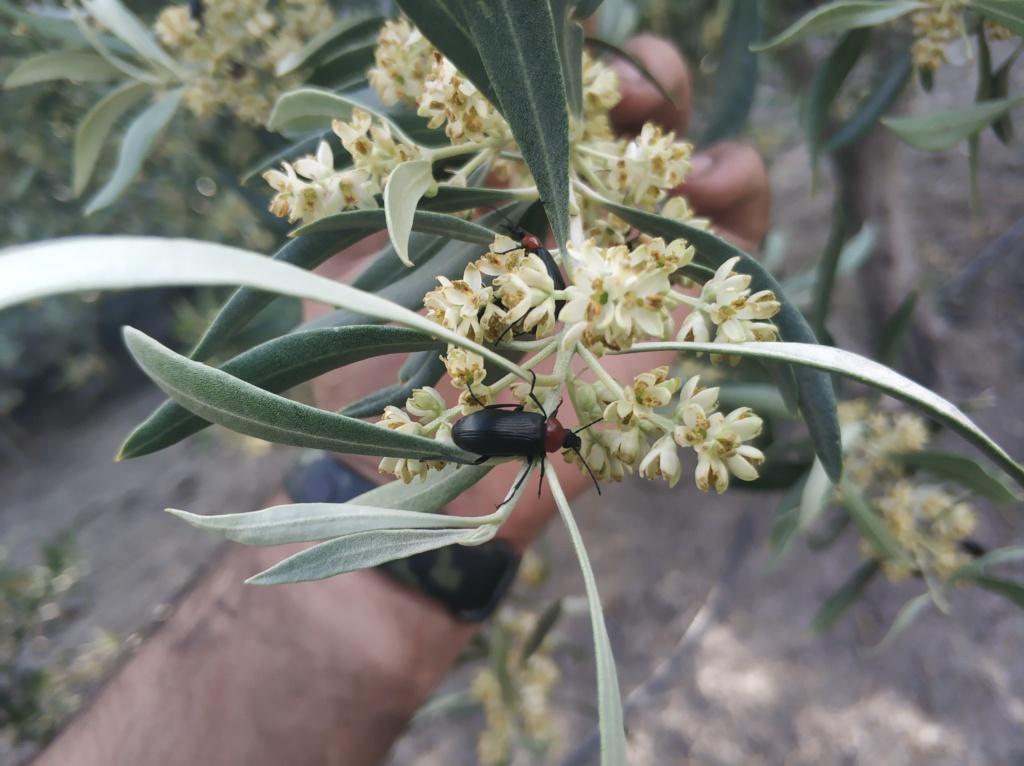 Escarabajo toro de sol en olivar (Heliotaurus ruficollis) Img_2011