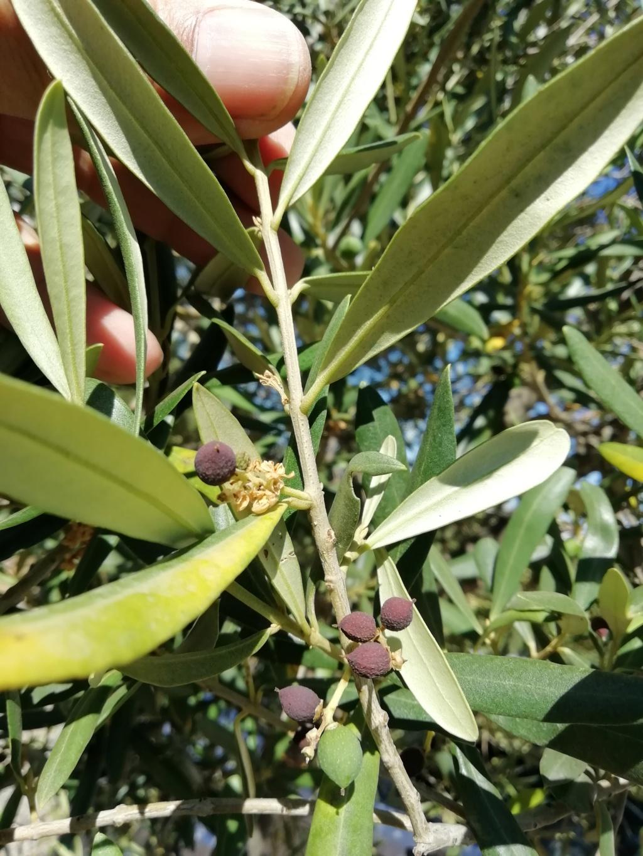 Aceituna seca (Málaga) Img_2010