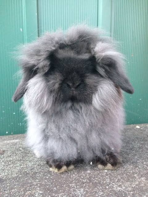 Looking for Lion Lop or English Angora 20190610