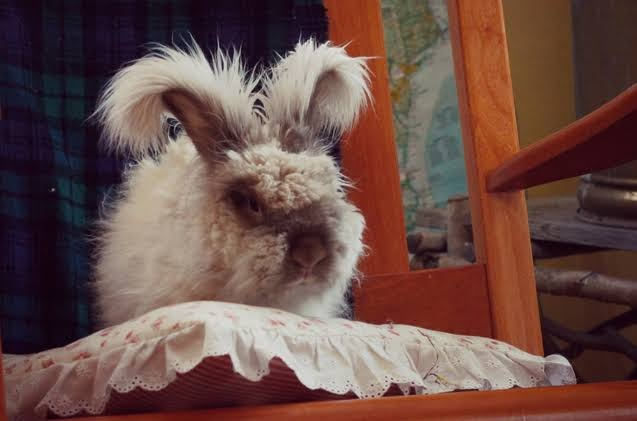 Looking for Lion Lop or English Angora 20190611