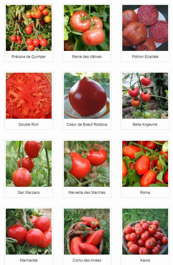 Le Potager Nourricier Tomate10