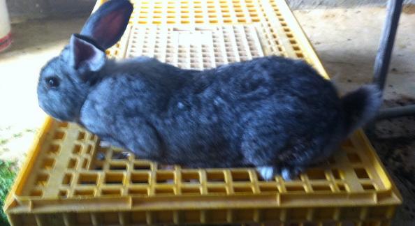 افضل ارانب لاحم للبيع  Bbb10