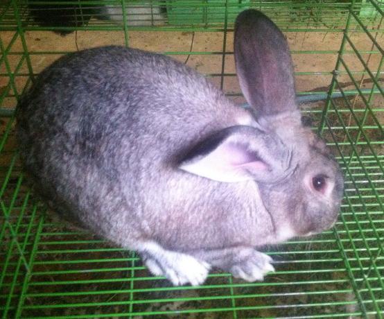 افضل ارانب لاحم للبيع  Eg10