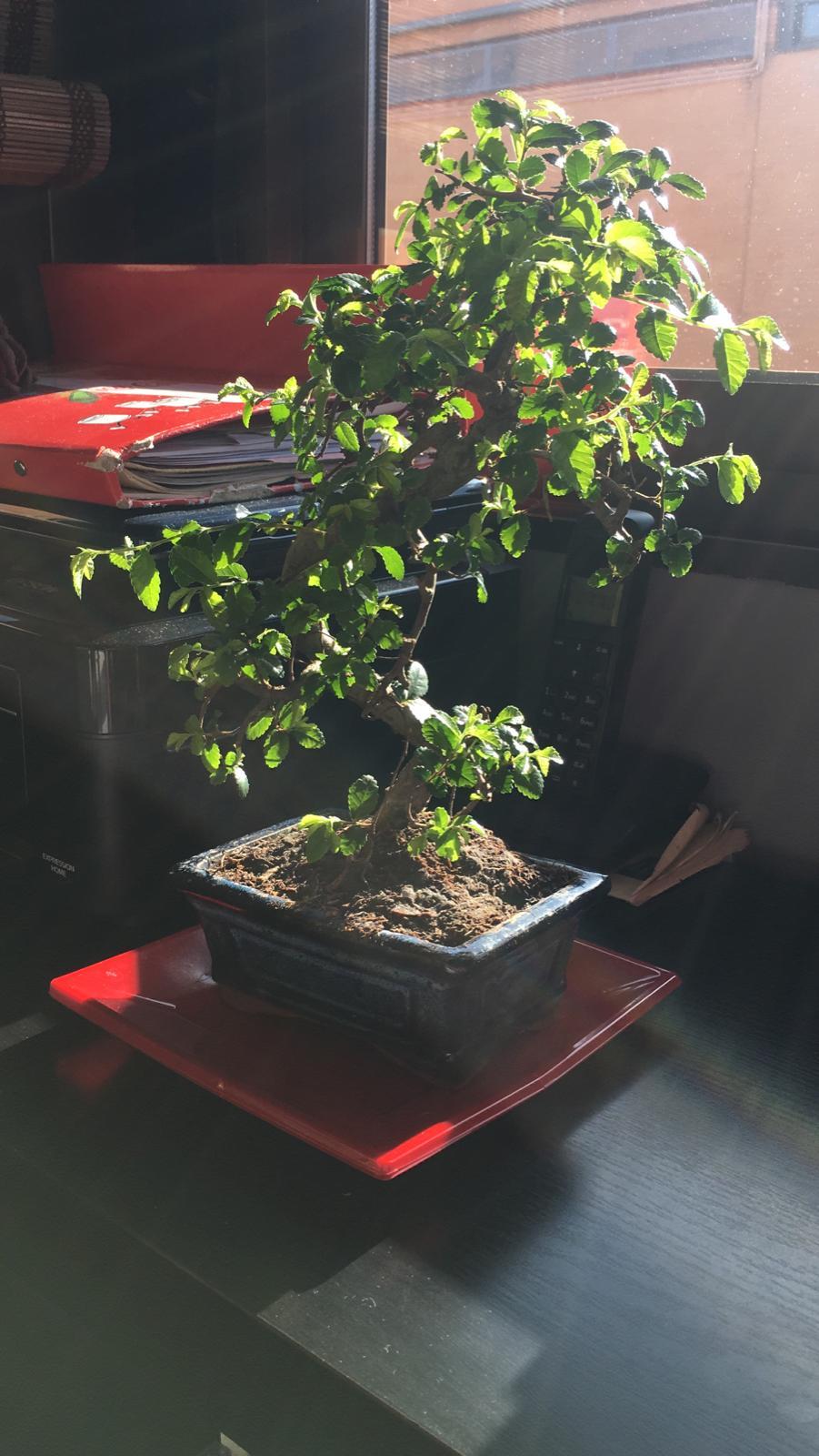 Mi bonsai se muere E6f7be10