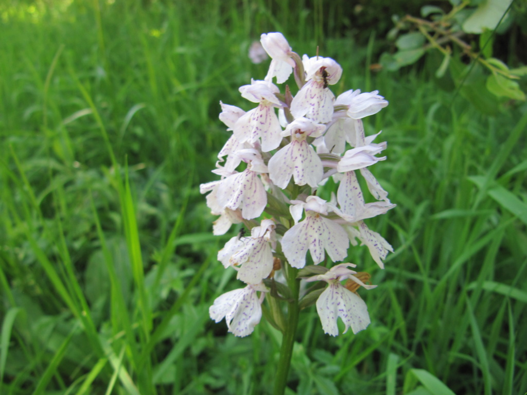 Orchis ?  Img_5710
