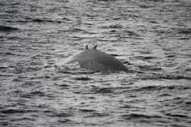 Baleia de Giglioli Entre124