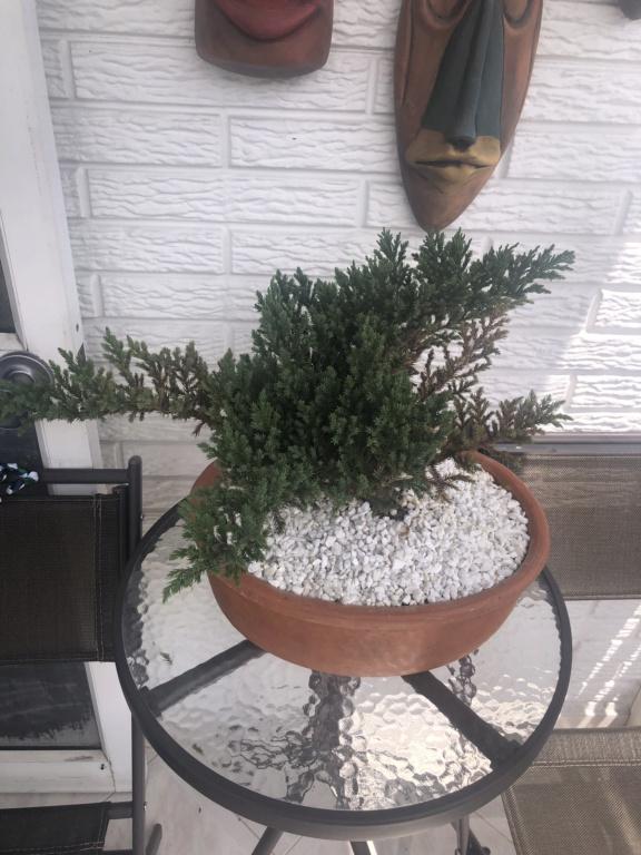 Ayuda! Mi bonsai se esta secando :cry:  Img_6413