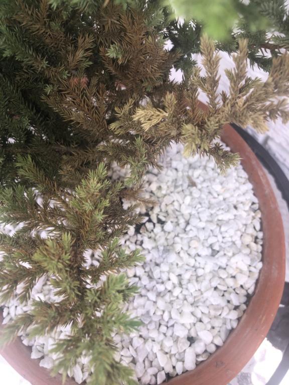 Ayuda! Mi bonsai se esta secando :cry:  Img_6414