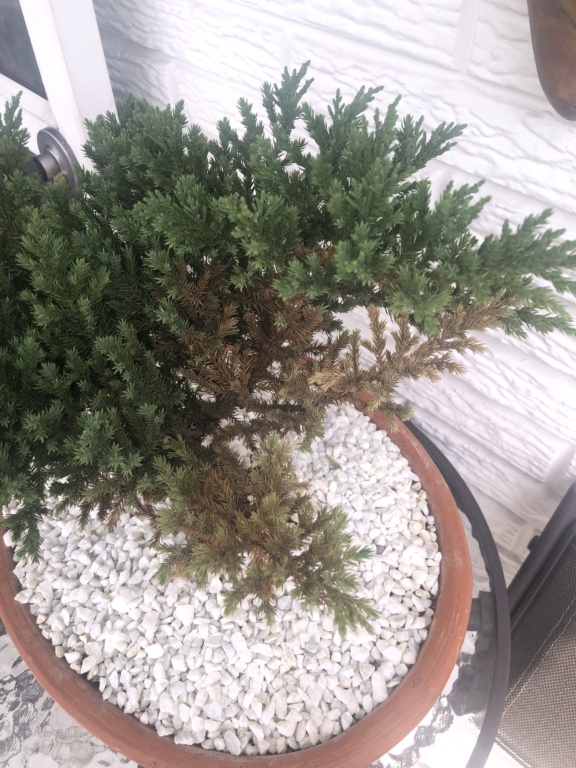 Ayuda! Mi bonsai se esta secando :cry:  Img_6415