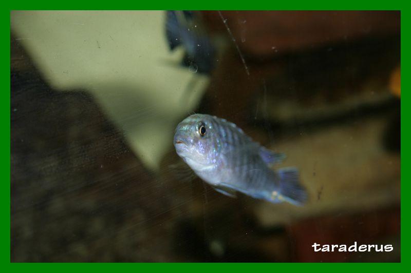 Labidochromis strigatus 1010