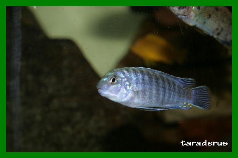 Labidochromis strigatus 1110