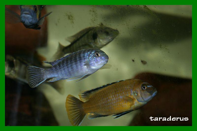 Labidochromis strigatus 310