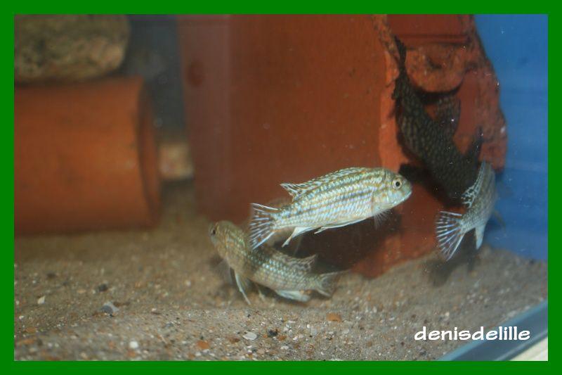 Labidochromis Flavigulis Labido11