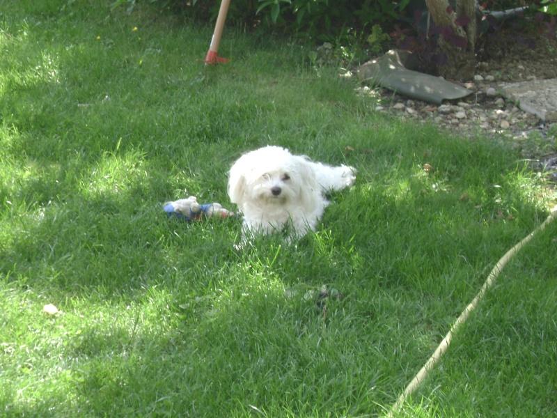 "mon chien Boby un ""Bichon"" Chipie10"
