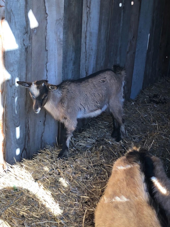 Mes 3 chèvres Img_4713