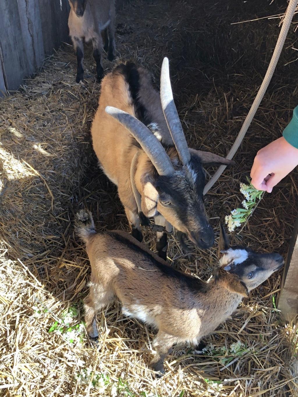 Mes 3 chèvres Img_4714