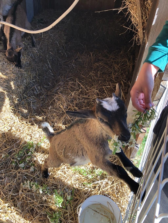 Mes 3 chèvres Img_4715