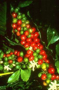 Istoria Cafelei Cafea110
