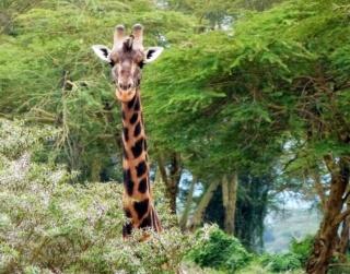 LE LAC NAKURU (Kenya) Girafe10