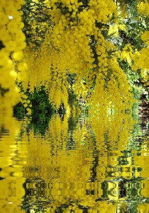 Blou , Blou notre Sirène Verseau 1er  - Page 2 Mimosa11