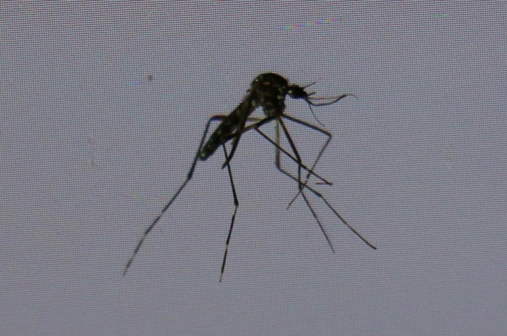moustique tigre Img_6314