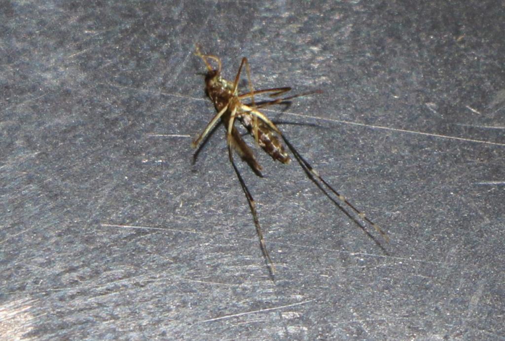 moustique tigre Img_6315