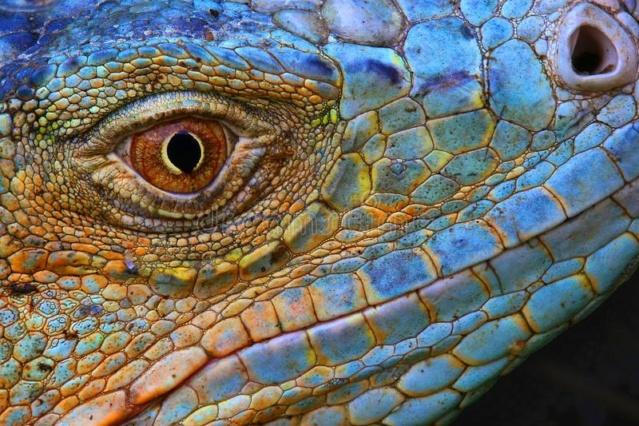 La nature et ses trésors - Page 2 Iguane10