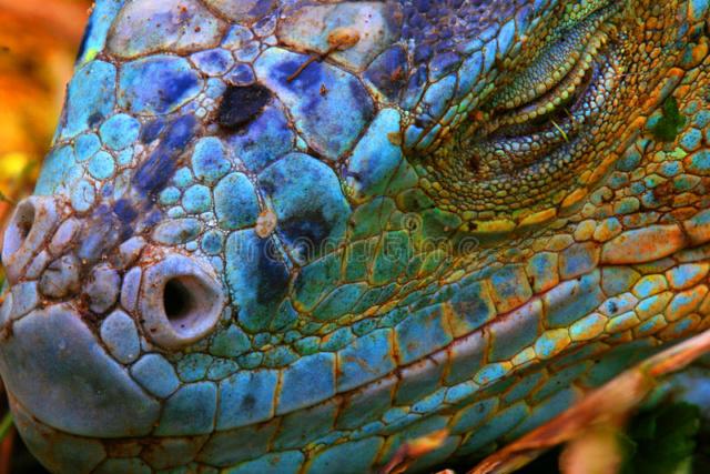 La nature et ses trésors - Page 2 Iguane11