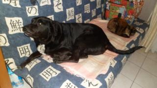 Owen, X labrador d'environ 3 ans  Sam_0012