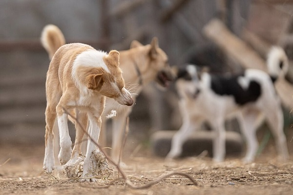 BAMBI (ex-CREMINO), identifié 788.269.100.004.845, jeune mâle - sable et blanc Bambi_13