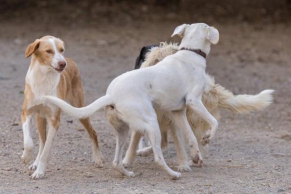BAMBI (ex-CREMINO), identifié 788.269.100.004.845, jeune mâle - sable et blanc Bambi_15
