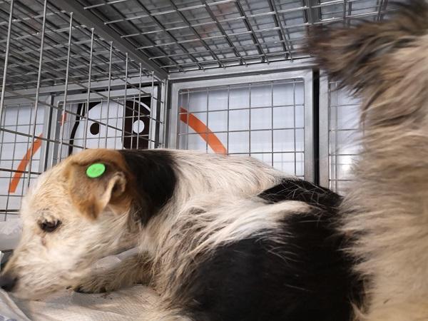 FOXO, identifié LHF 738, en FAMILLE en Bulgarie Foxo_b12