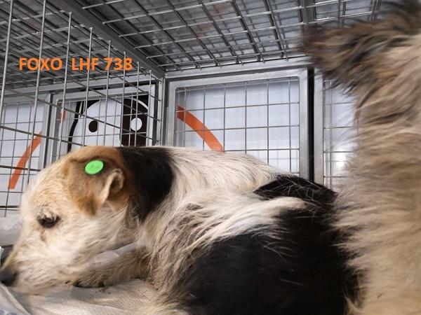 Stérilisation des animaux errants à DEVNYA - Octobre 2018 Foxo_b13